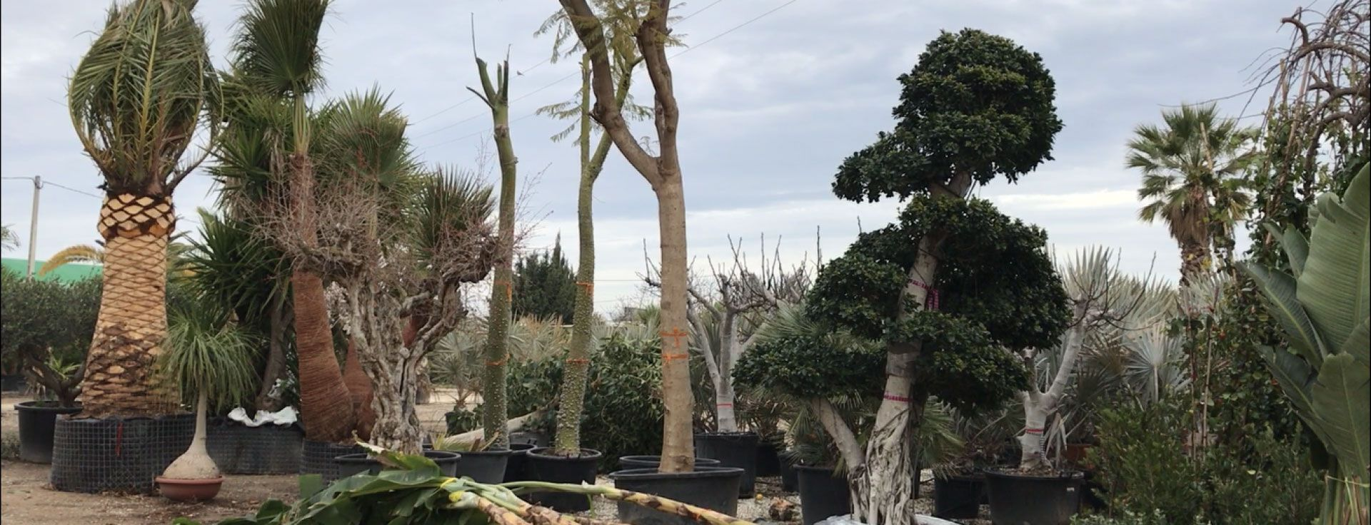 Mediterranean plants for wholesale in Alicante and Elche