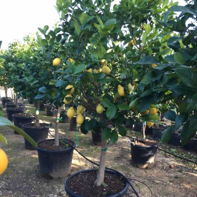 Citrus limon (lemon tree) for wholesale in Elche