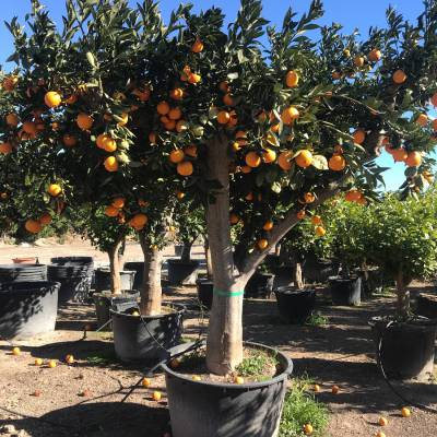 Citrus sinensis (orange) for wholesale in Elche