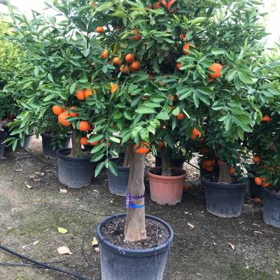 Citrus reticulata for wholesale in Elche