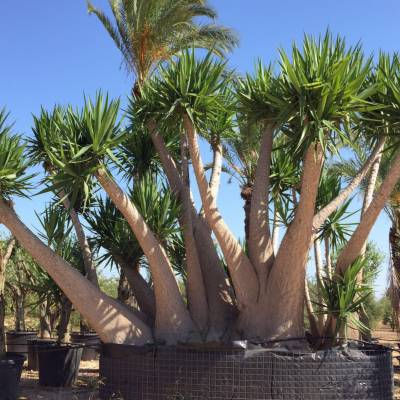 Yucca elephantipes for wholesale in Elche