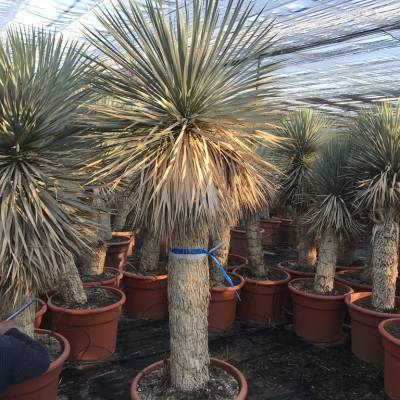 Yucca rostrata for wholesale in Elche