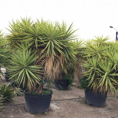 Yucca yewell for wholesale in Elche
