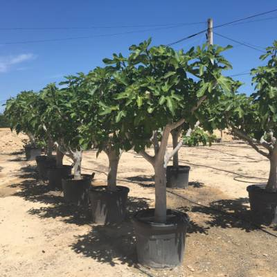 Ficus carica (Fig tree) for wholesale in Elche