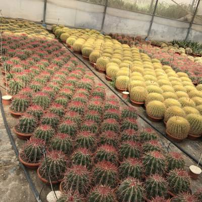 Cactus C-18 for wholesale in Elche