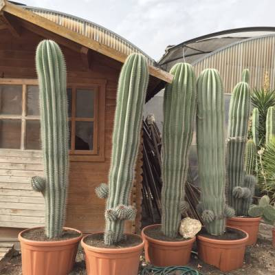 Pachycereus pringlei  for wholesale in Elche