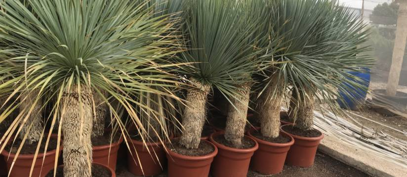 Buy Yucca Rostrata wholesale, the best option for landscaping large slopes and slopes