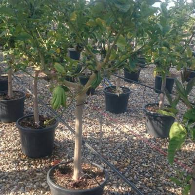 Citrus medica var. sarcodactylis  for wholesale in Elche