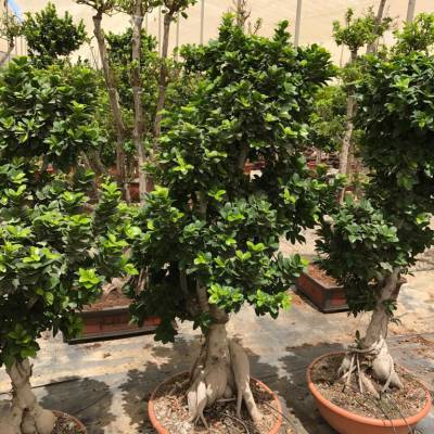 Ficus Bonsai for wholesale in Elche