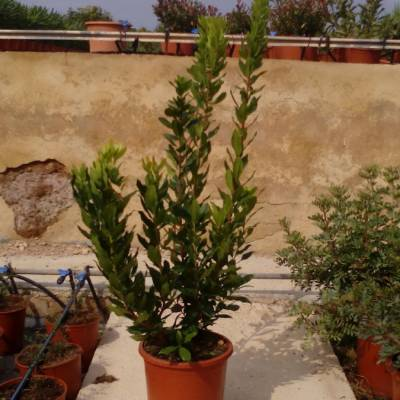 Arbutus unedo for wholesale in Elche
