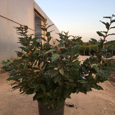 Elaeagnus x ebbingei for wholesale in Elche