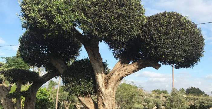 VIVEROS SOLER, the best specialists in centenary olive trees and wholesale bonsai