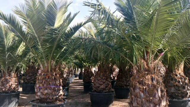 Don't know where you can buy Jubaea chilensis palms wholesale?