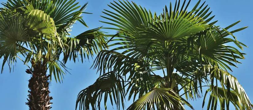 Venta de Palmeras Washingtonia Robusta al por mayor